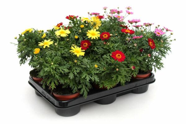 Argyranthemum Fructescens