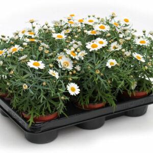 Argyranthemum fructescens weiß