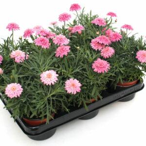 Argyranthemum Fructescens gefüllt rosa
