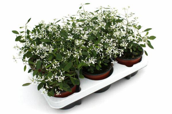 Chamnaesyce hypericifolia weiß