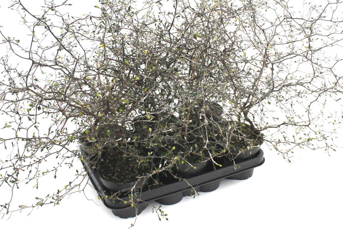 Corokia Cotoneaster