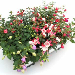 Fuchsia hybrida Mix stehend