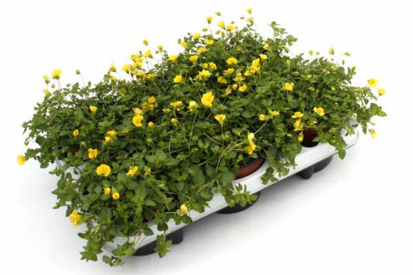 Mecardonia procumbens gelb