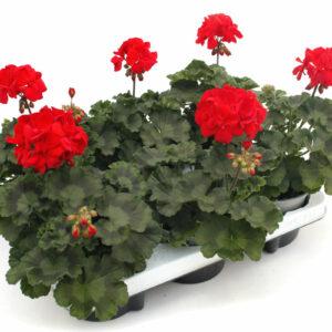 Pelargonium zonale rot