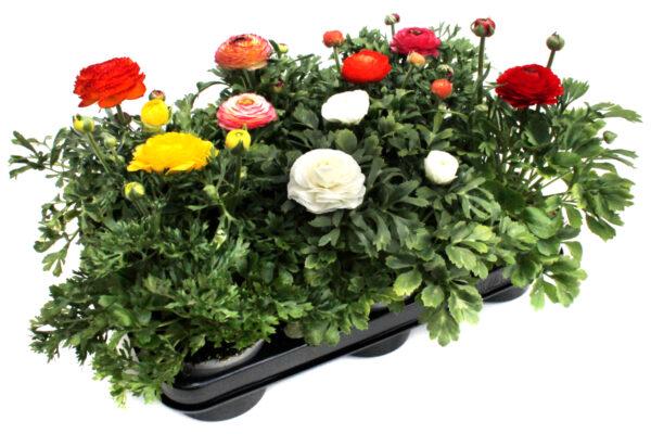Ranunculus hybrida Mix