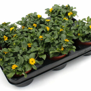 Sanvitalia procumbens gelb