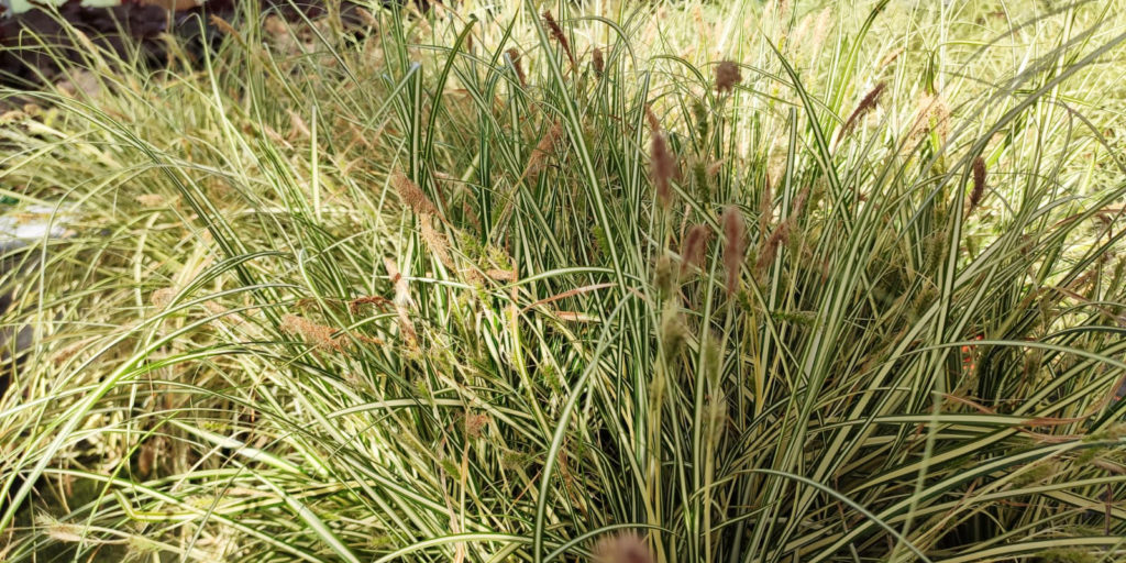 Gras Carex