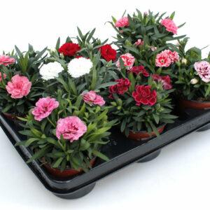 Dianthus caryophyllus Mix