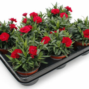 Dianthus caryophyllus rot
