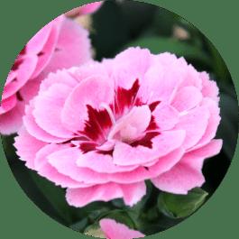 Dianthus Caryophyllus, Gartennelken