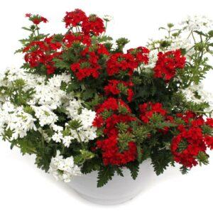 Verbena hybrid Ampel rot-weiß