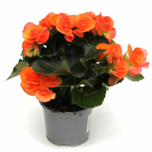 Begonia-Elatior Orange