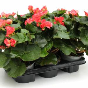 Begonia-Elatior Rosa