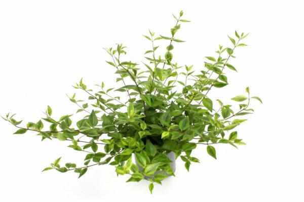 Abelia x grandiflorum