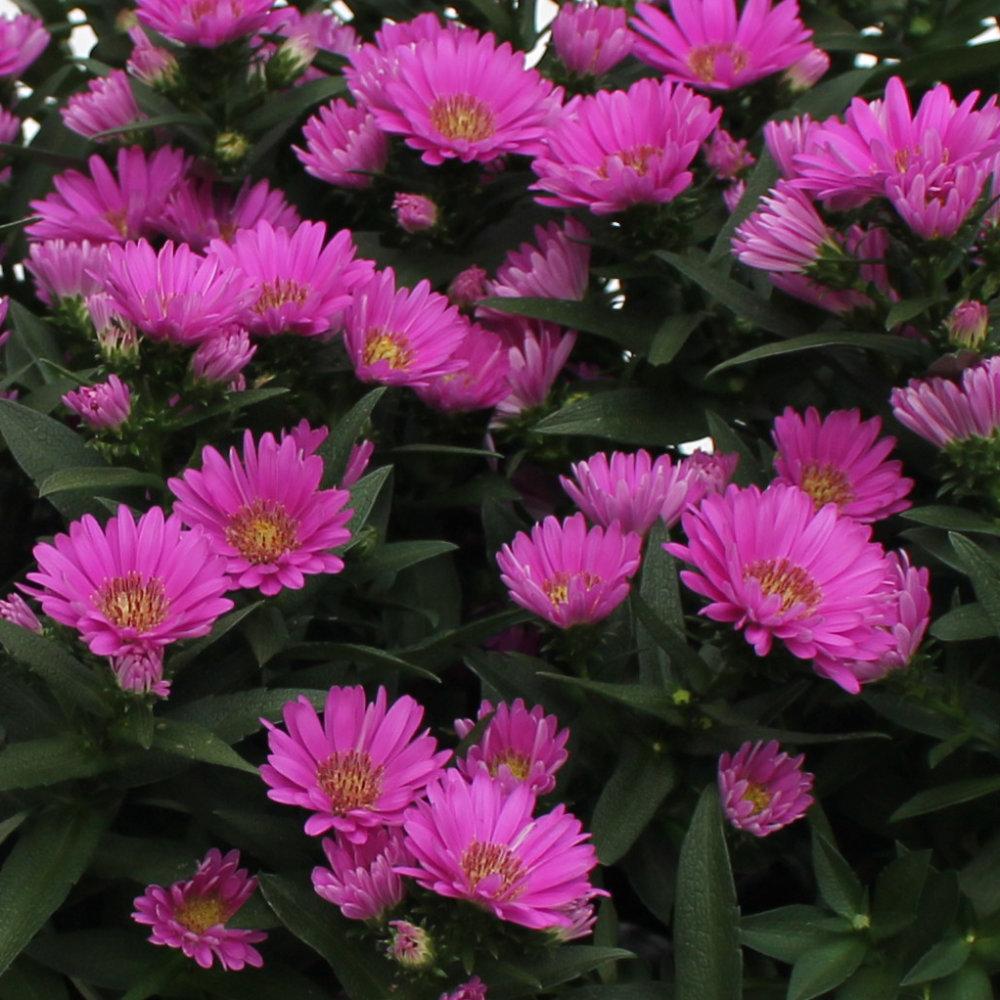 Glattblatt-Aster, Aster novi-belgii verschönern nicht nur Beete und Kübel, sondern bringen auch Bienennahrung mit.