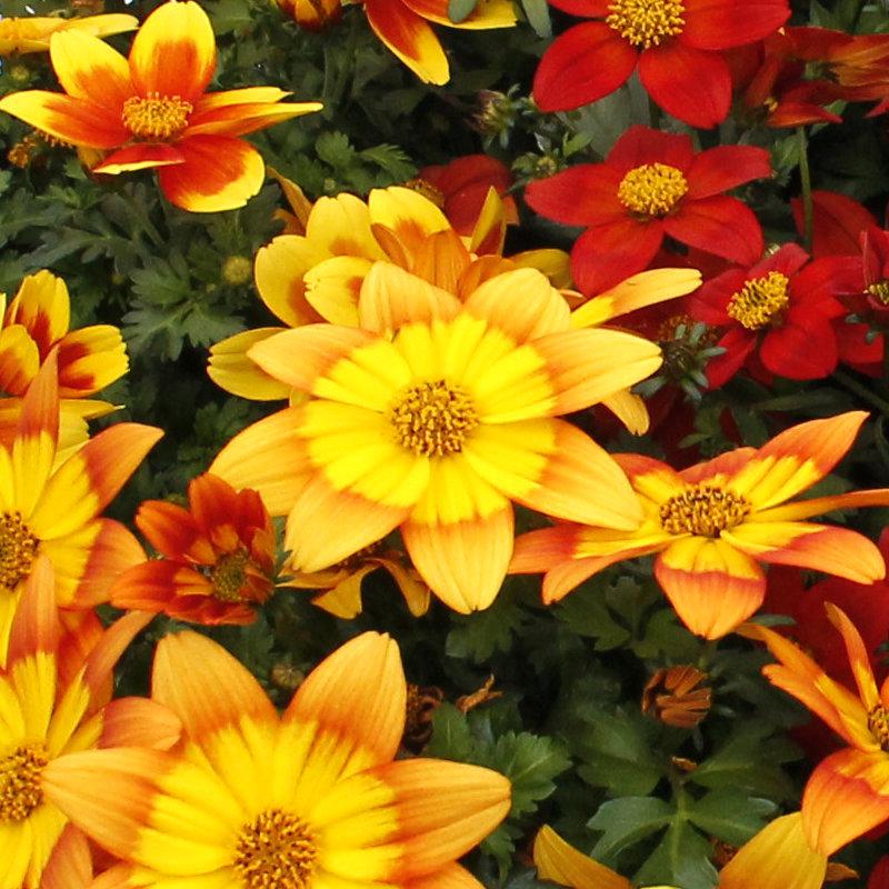 Goldmarie, Bidens ferulifolia sind für Bienen besonders interessant.