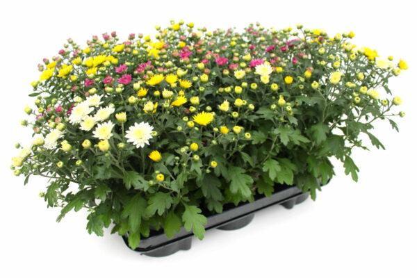 Chrysanthemum indicum Trio