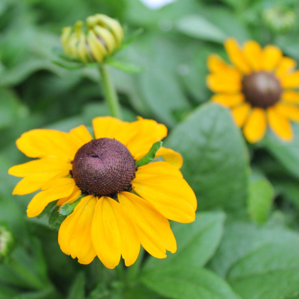 Sonnenhut, Rudbeckia hirta ist mit seine Erscheinung auch für Hummeln und Bienen auffällig.