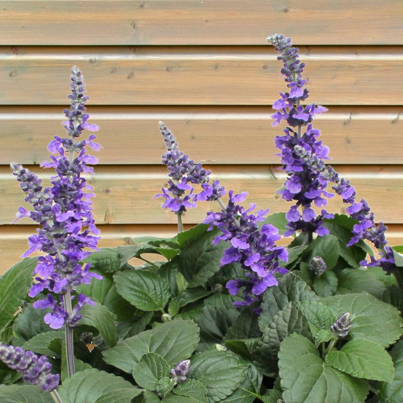 Mehlsalbei, Salvia farinacea ist nicht nur schön für kahle Stellen im Garten, sondern auch für Schmetterlinge attraktiv.