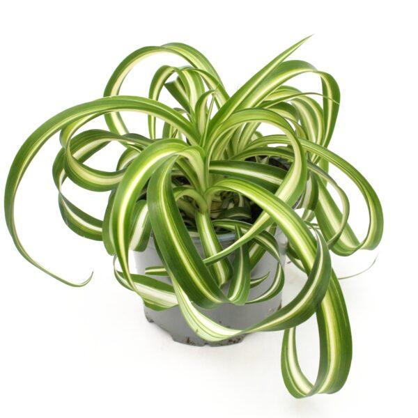 Chlorophytum comosom
