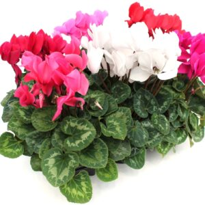 Cyclamen persicum Mix