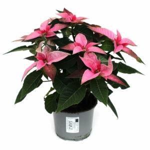 Euphorbia pulcherrima 'Princettia' rosa