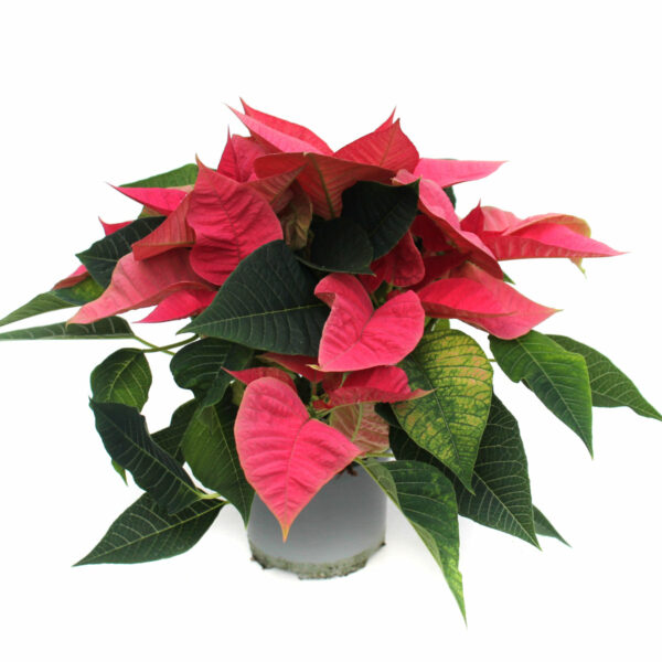 Euphorbia pulcherrima rosa