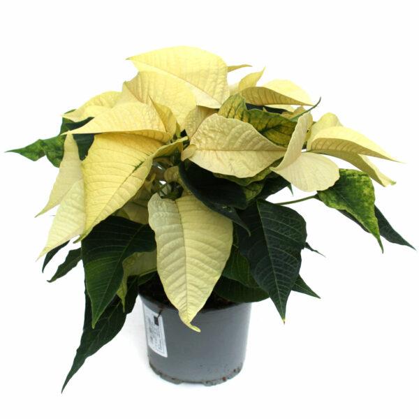 Euphorbia pulcherrima weiß
