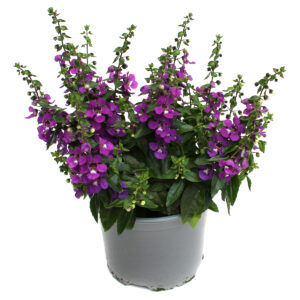 Angelonia angustifolia lila